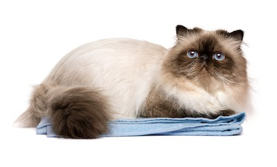 persian cat on feeling sick