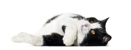 Mixed breed cat laying